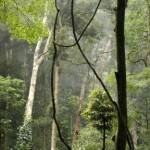 14689374-arboles-de-la-selva-tropical-de-australia-en-bunya-destino-turistico-de-las-montanas-de-queensland